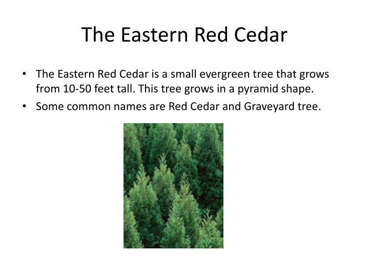 The Eastern Red Cedar