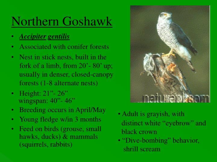 Northern Goshawk