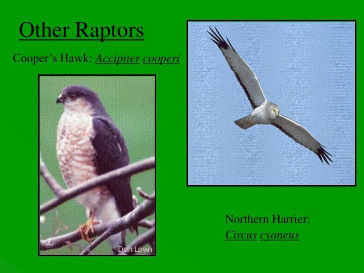 Other Raptors