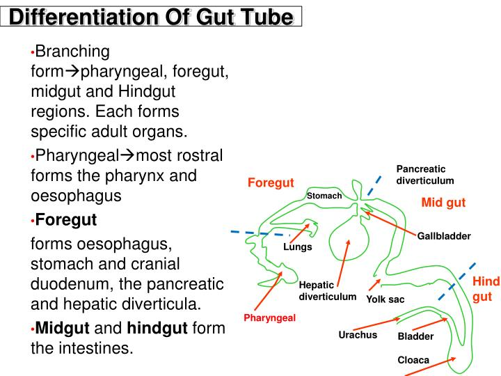 Differentiation Of Gut Tube