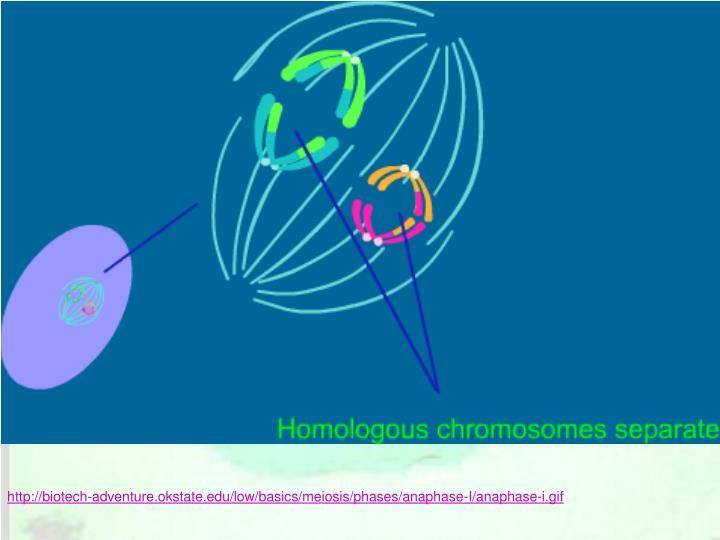 http://biotech-adventure.okstate.edu/low/basics/meiosis/phases/anaphase-I/anaphase-i.gif