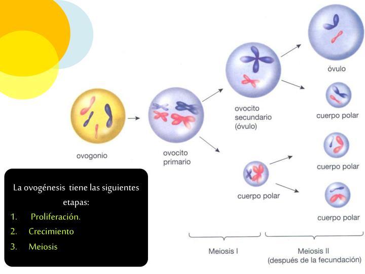 La ovogénesis  tiene las siguientes etapas: