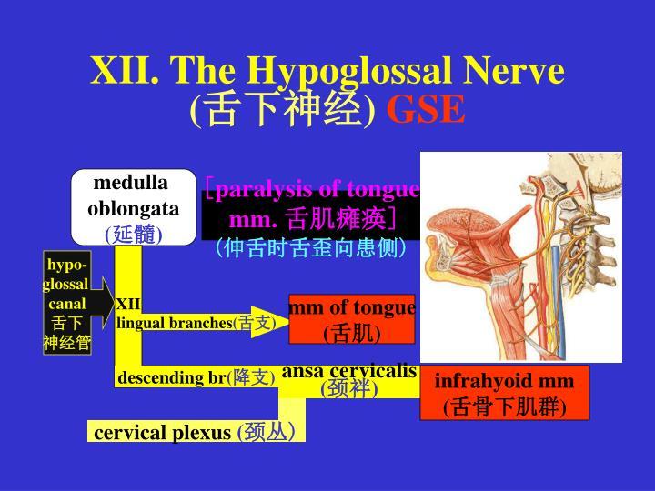 XII. The Hypoglossal Nerve