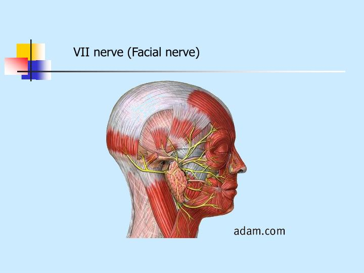 VII nerve (Facial nerve)