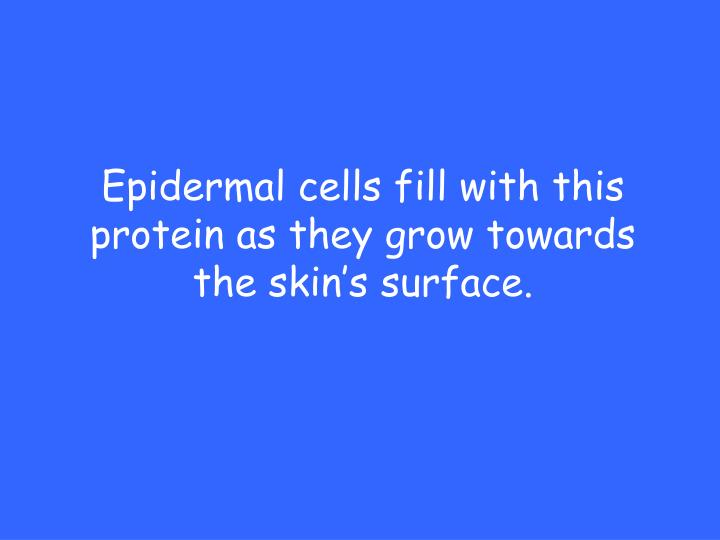 Epidermal cells fill with this protein as they grow towards the skin's surface.