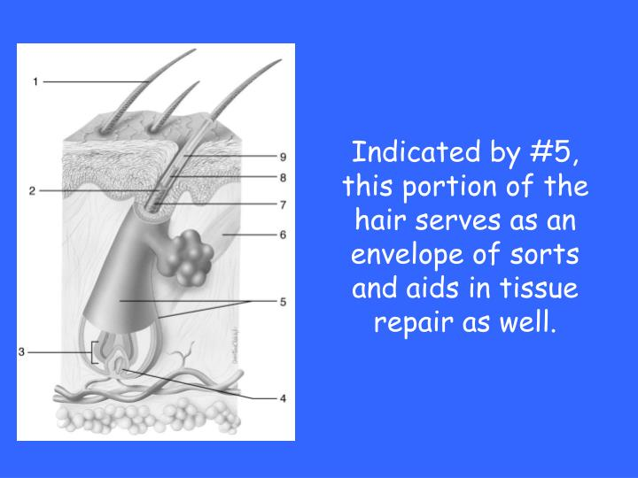 Indicated by #5, this portion of the hair serves as an envelope of sorts and aids in tissue repair as well.