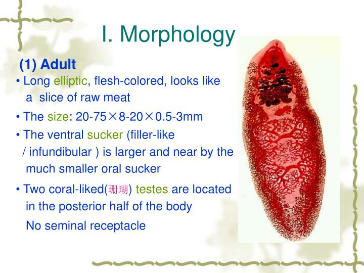 I. Morphology
