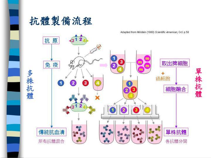 抗體製備流程