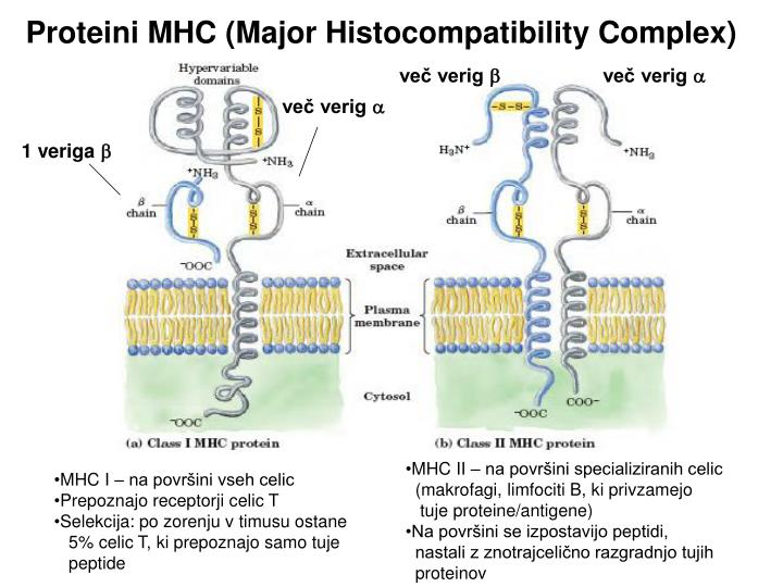 Proteini MHC (Major Histocompatibility Complex)