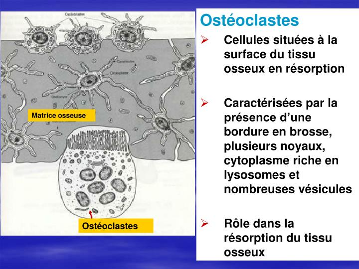 Ostéoclastes