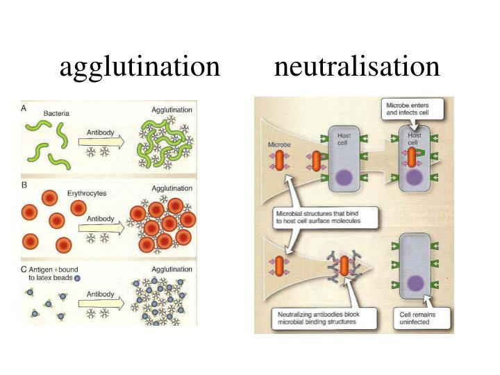 agglutination       neutralisation