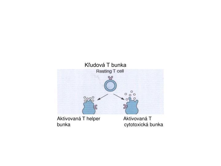 Kľudová T bunka