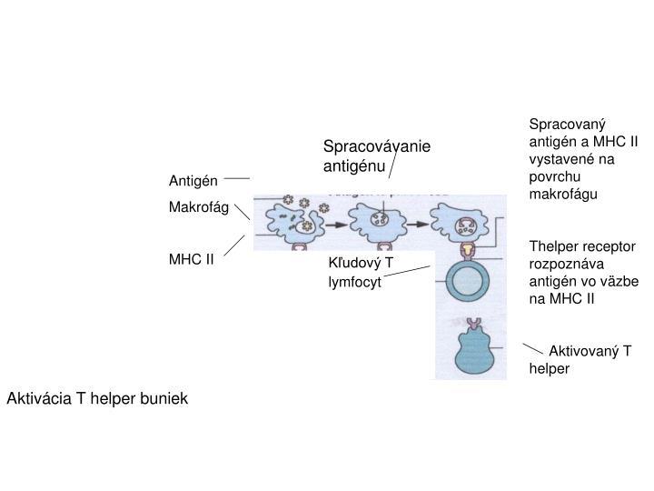 Spracovaný antigén a MHC II vystavené na povrchu makrofágu