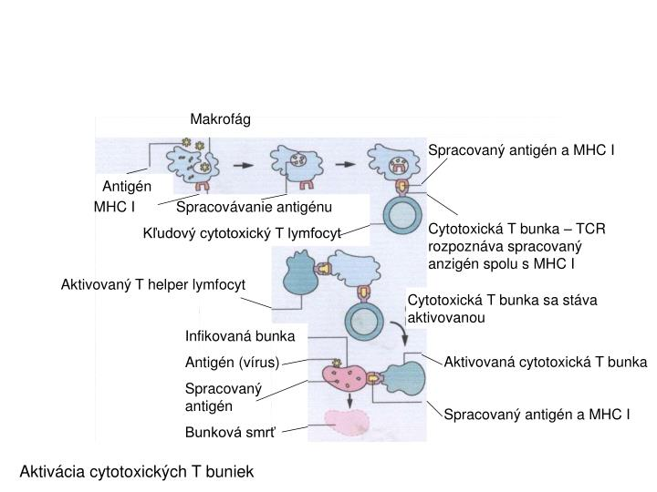 Makrofág