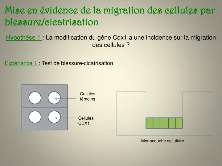 Mise en évidence de la migration des cellules par blessure/cicatrisation