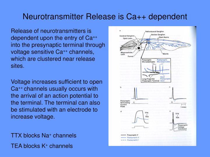 Neurotransmitter Release is