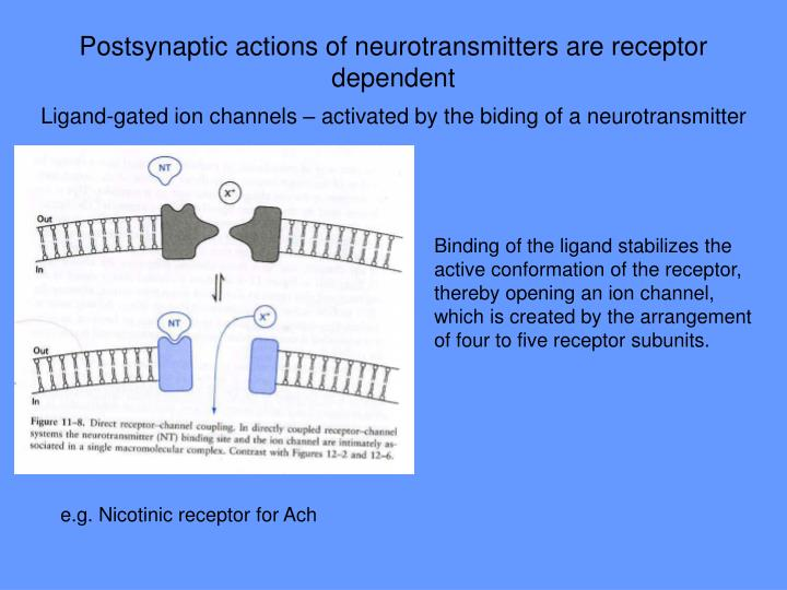 Postsynaptic actions of neurotransmitters are receptor dependent