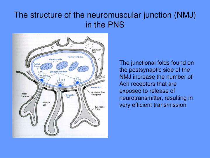 The structure of the neuromuscular junction (NMJ) in the PNS