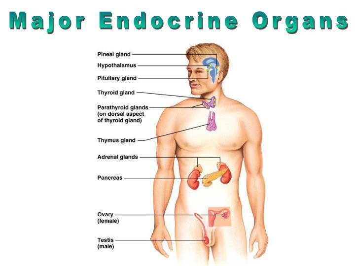 Major Endocrine Organs