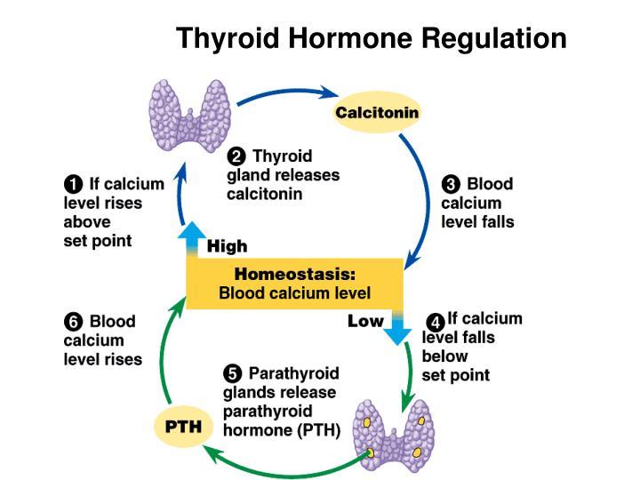 Thyroid Hormone Regulation