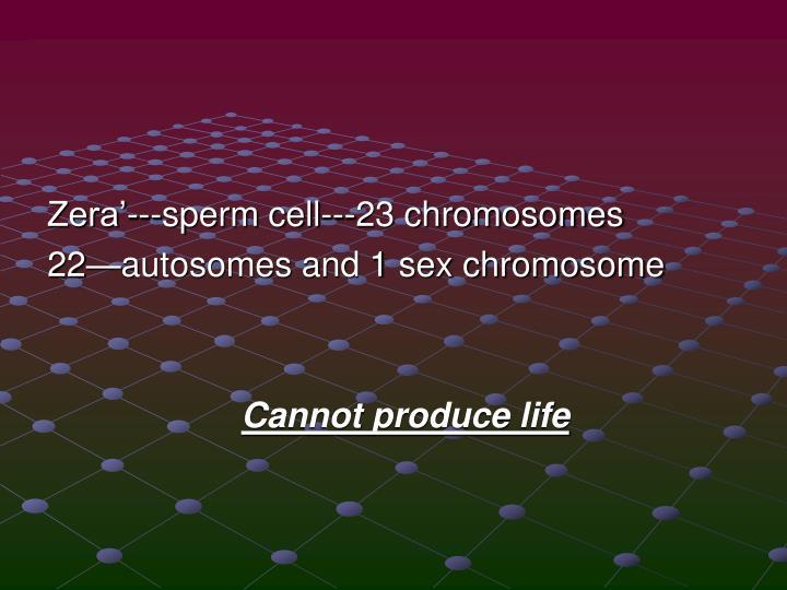 Zera'---sperm cell---23 chromosomes