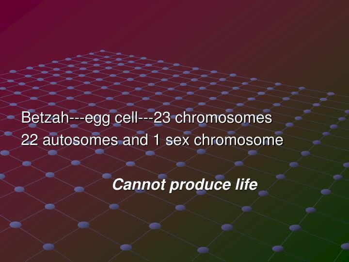 Betzah---egg cell---23 chromosomes