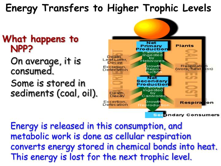 Energy Transfers to Higher Trophic Levels