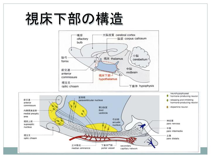 視床下部の構造