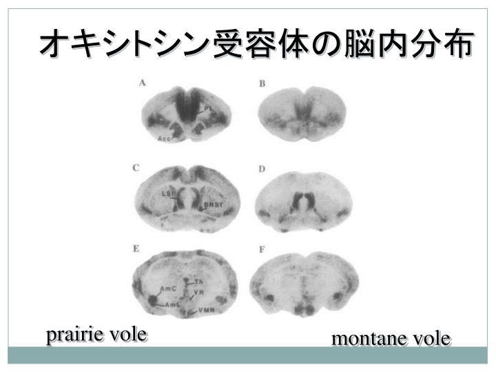 オキシトシン受容体の脳内分布