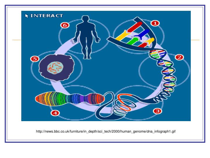 an in depth description of the human dna The process of copying dna into messenger rna (mrna) is called transcription transcription factors assemble at the promoter region of a gene, bringing an rna polymerase enzyme to form the.