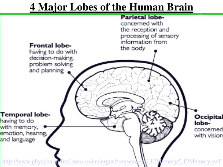 4 Major Lobes of the Human Brain