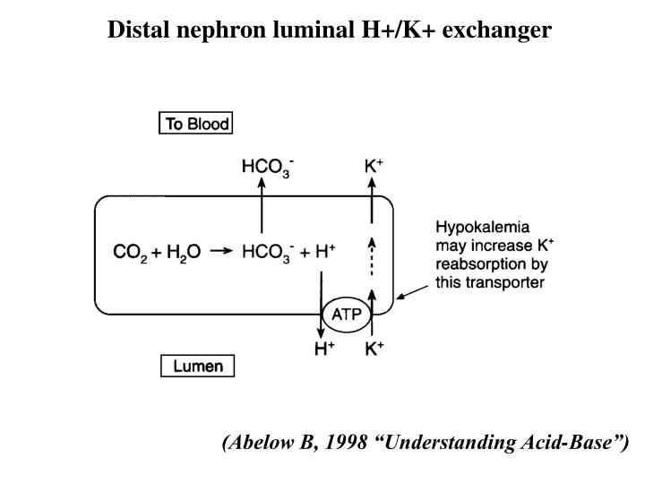 Distal nephron luminal H+/K+ exchanger