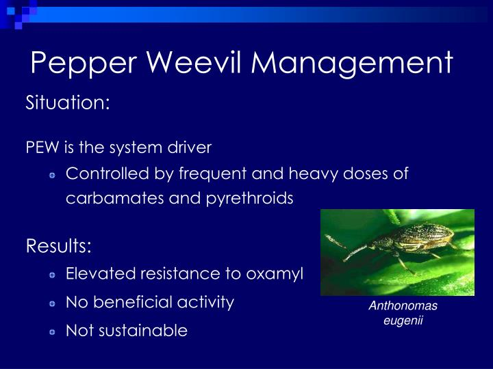 Pepper Weevil Management