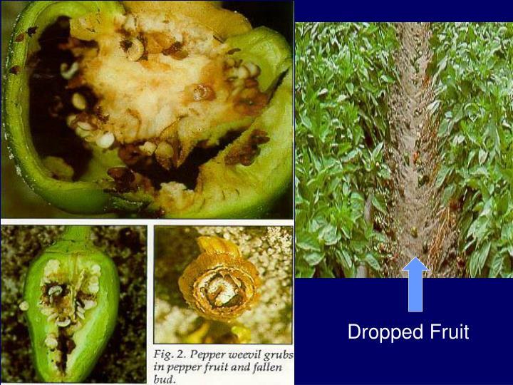 Dropped Fruit