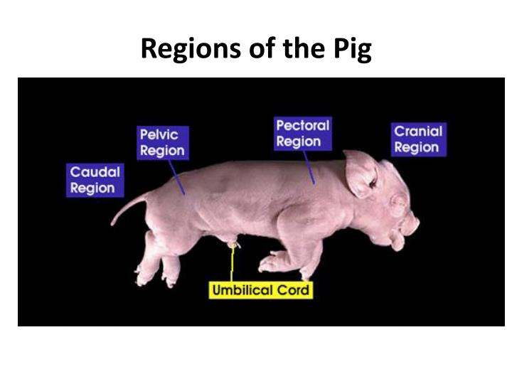 Regions of the Pig