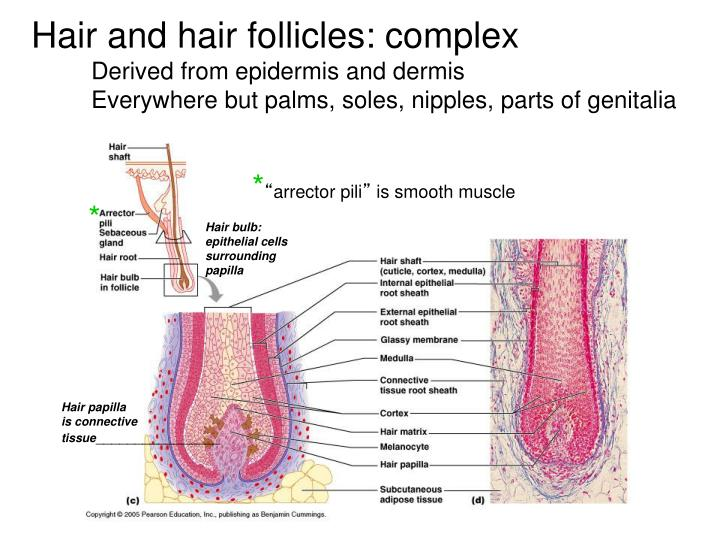 Hair and hair follicles: complex