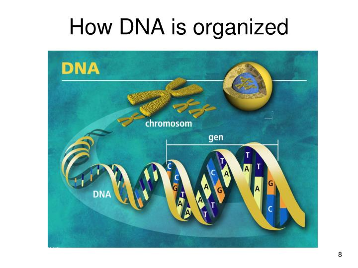How DNA is organized