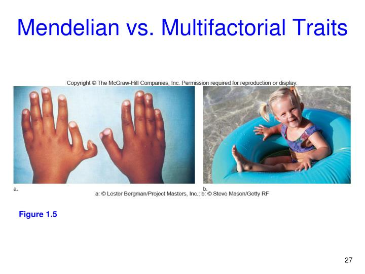 Mendelian vs. Multifactorial Traits