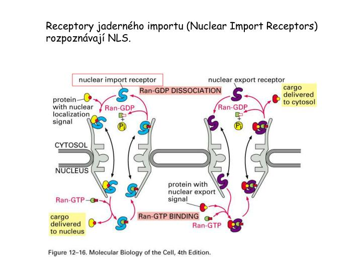 Receptory jaderného importu (N