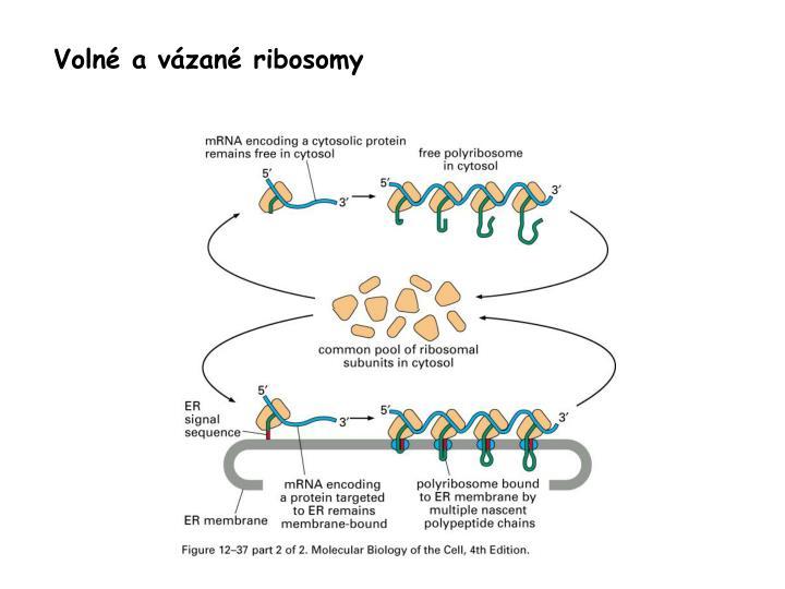 Volné a vázané ribosomy