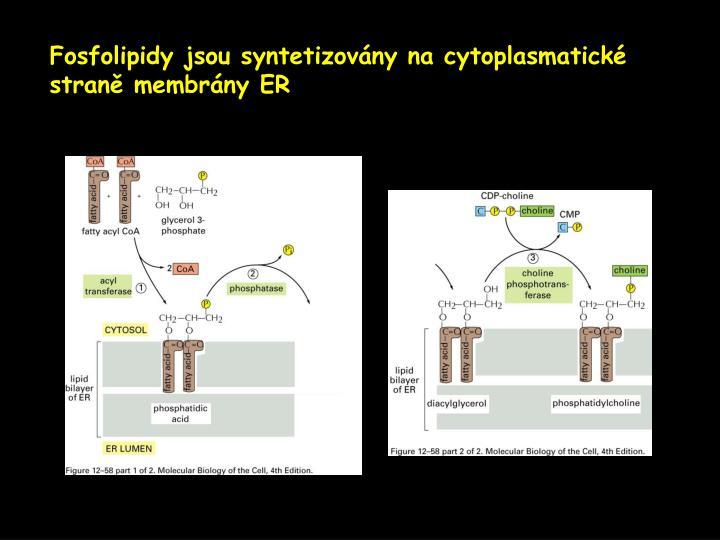 Fosfolipidy jsou syntetizovány na cytoplasmatické stran