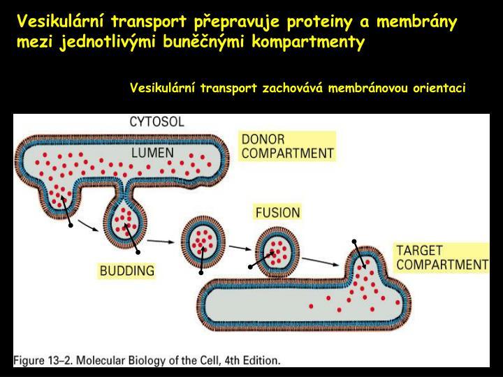 Vesikulární transport přepravuje proteiny a membrány mezi jednotlivými buněčnými kompartmenty