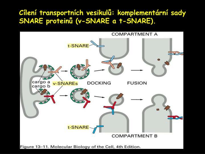 Cílení transportních vesikulů: komplementární sady SNARE proteinů (