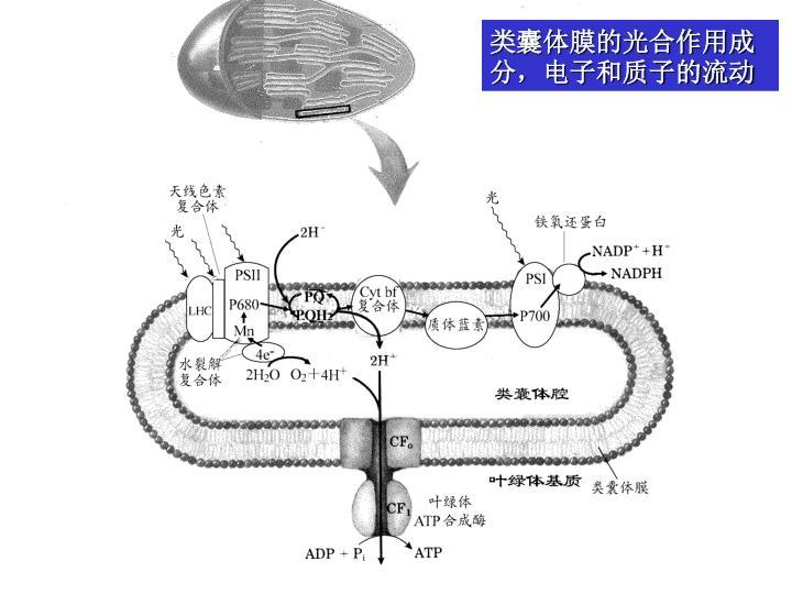 类囊体膜的光合作用成分,电子和质子的流动