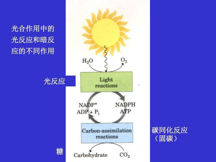 光合作用中的光反应和暗反应的不同作用