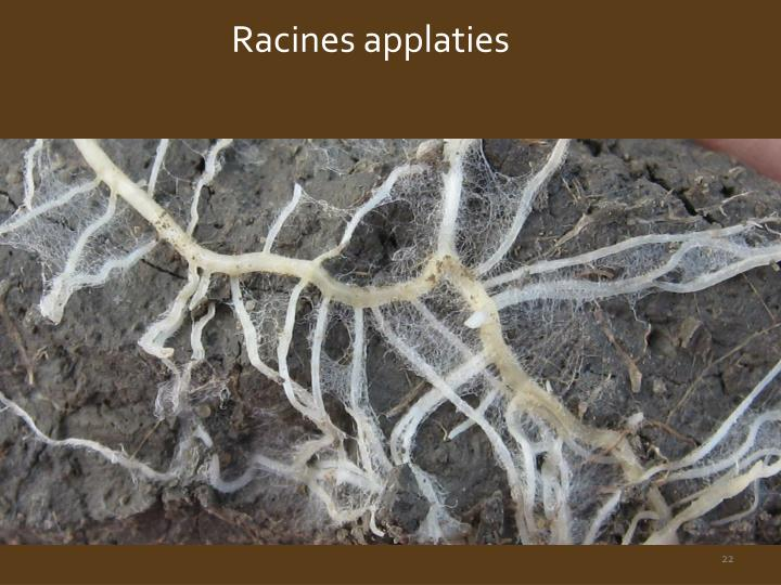 Racines applaties