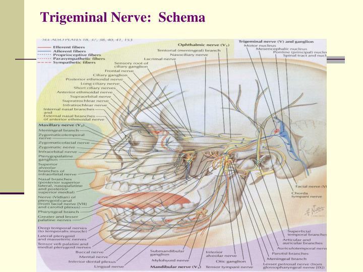 Trigeminal Nerve:  Schema