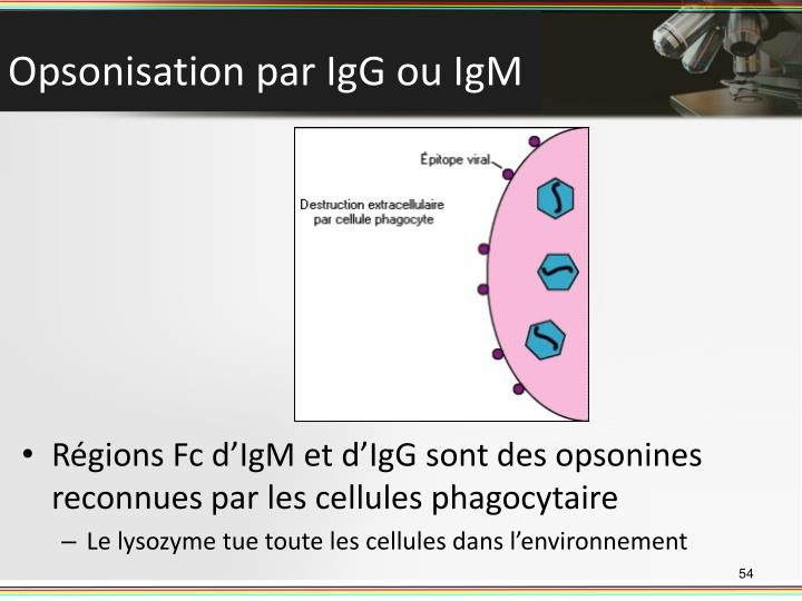 Régions Fc d'IgM et d'IgG sont des opsonines reconnues par les cellules phagocytaire