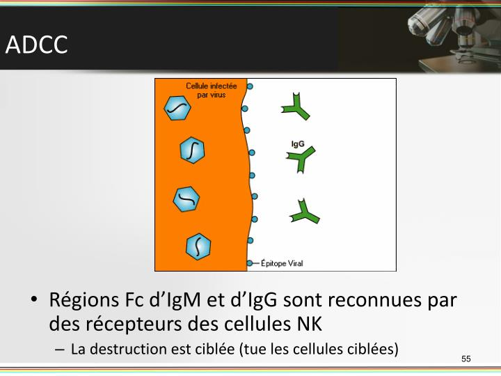 Régions Fc d'IgM et d'IgG sont reconnues par des récepteurs des cellules NK