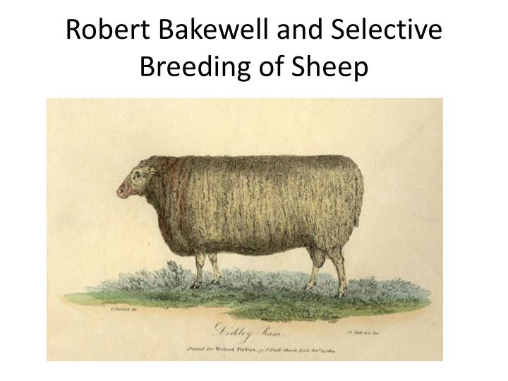 Robert Bakewell and Selective Breeding of Sheep